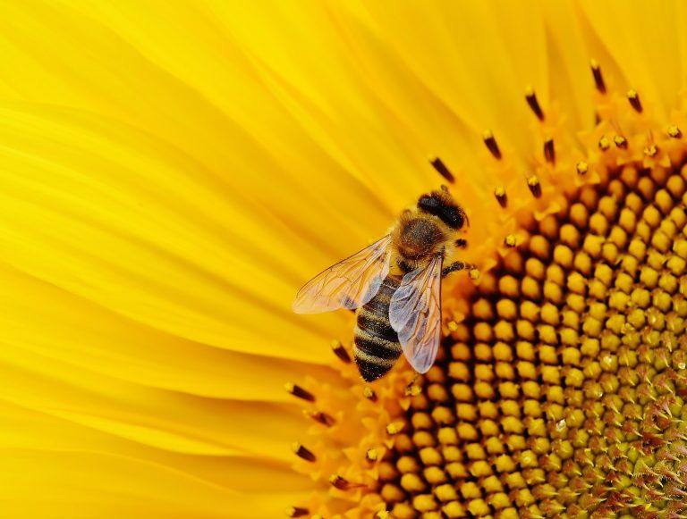Pianta un seme per nutrire le api questa primavera
