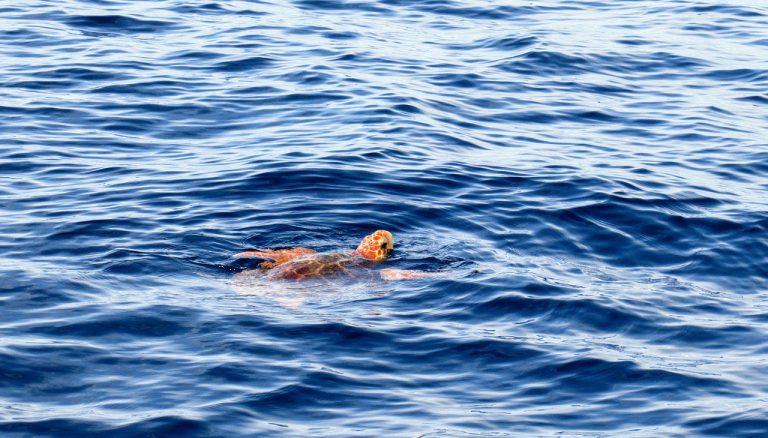 Giornata mondiale della tartaruga marina, via alla stagione delle nidificazioni