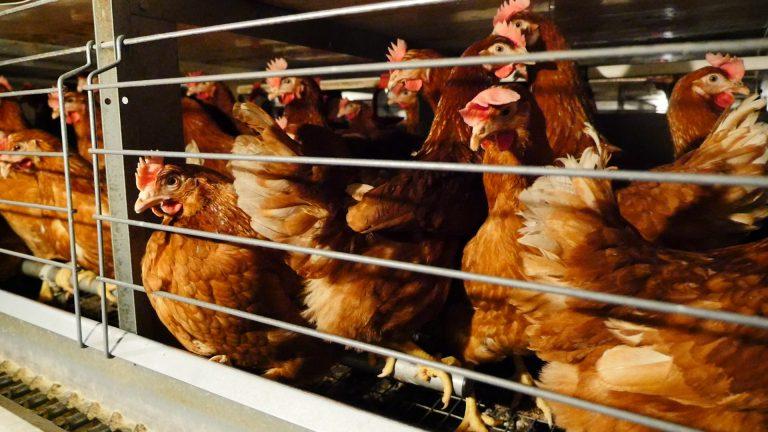 Allevamenti: Italia al 17° posto in UE per percentuale di animali in gabbia
