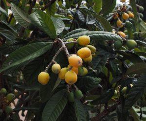 mispelfruchte-1117513_1280